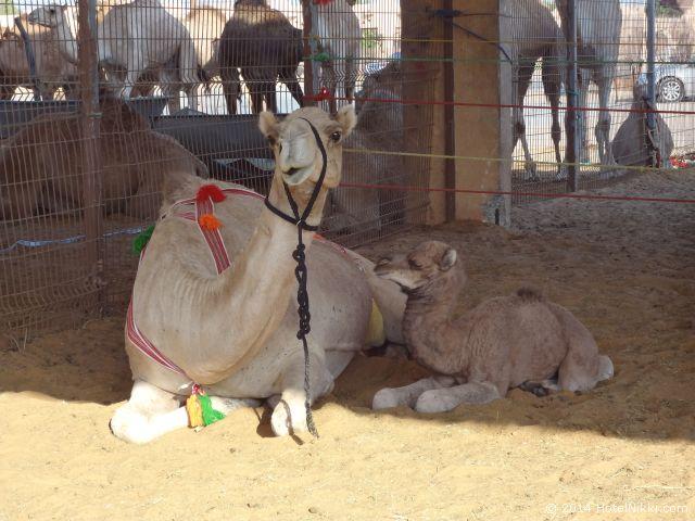 アルアインのラクダ市場 親子ラクダ